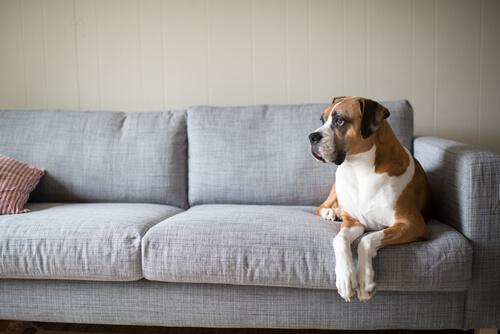 debo dejar que mi perro se suba al sofa