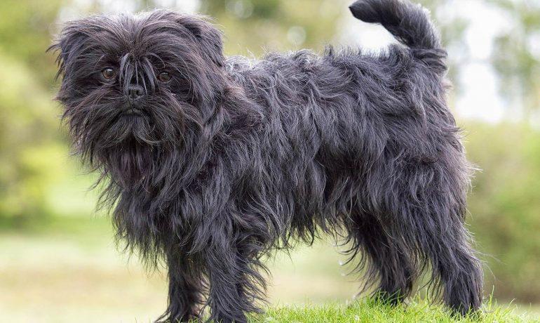 raza de perro affenpinscher