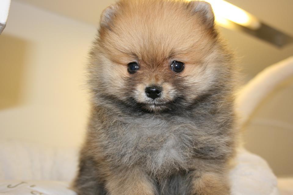 La salud de la raza de perro Pomerania
