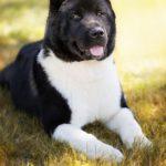 peculiaridades de la raza de perros Akita Americano