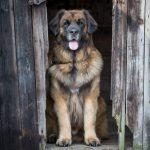 La raza de perro leonberger