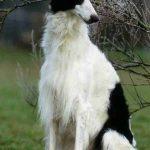 Los perros de la raza Borzoi