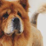 Perros de la raza chow chow