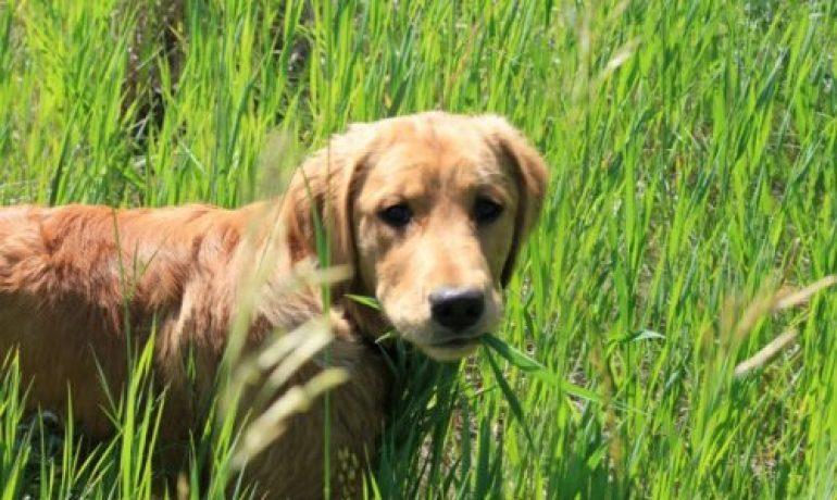 Por qué mi perro come hierba