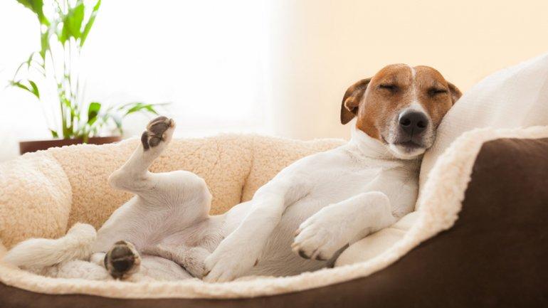 Por que mi perro rasca su cama