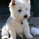 Raza West highland white terrier