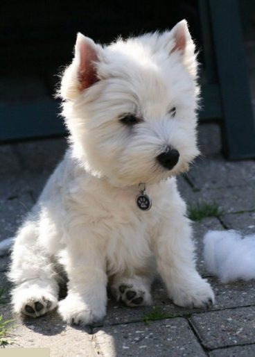Raza West highland white terrier