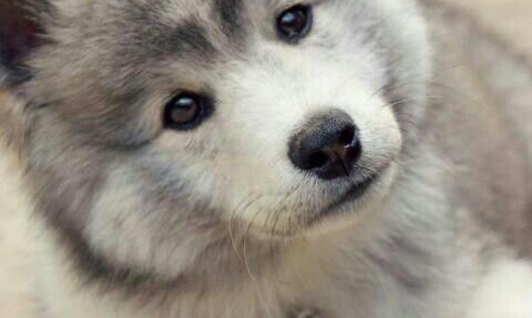 Raza de perro Pomsky