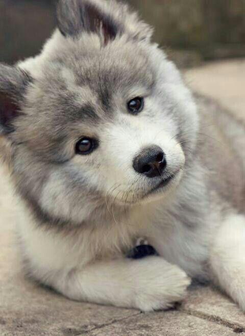 Todo Lo Que Necesitas Saber Sobre La Raza De Perro Pomsky Descubrelo