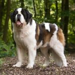 Raza de perro san bernardo