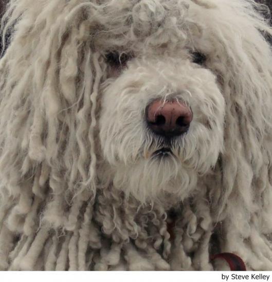 Conoces la historia de la raza de perro komondor