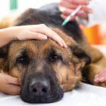 Cuáles son las enfermedades más comunes en perros y sus síntomas