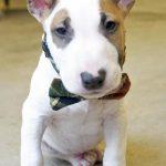 Descubre la raza de perros bull terrier inglés miniatura