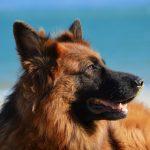 Descubre la raza del pastor alemán