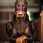 en que se diferencian los rottweiler de los doberman