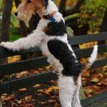 fox terrier de pelo alambre