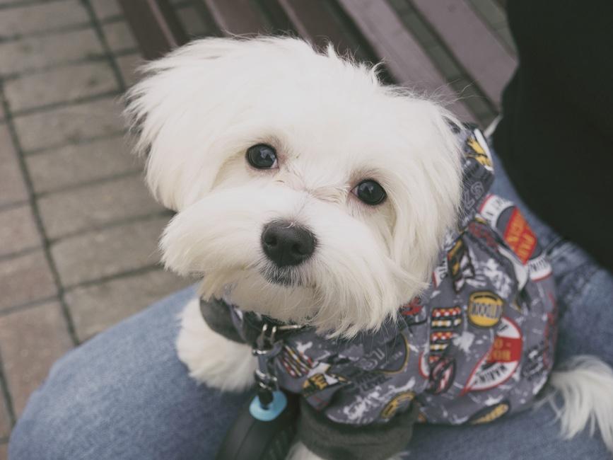 la raza de perro Bichón Maltés