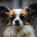 La raza de perro papillón