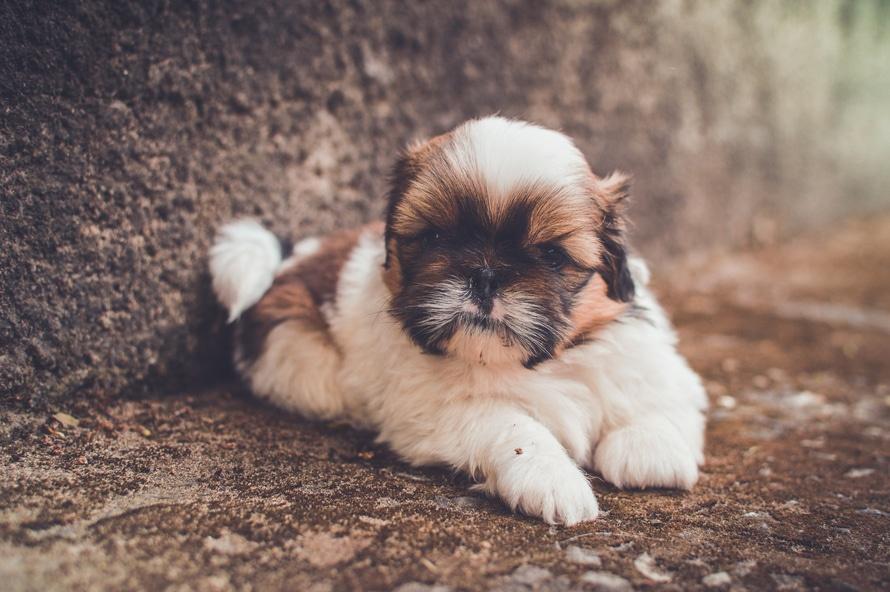 Todo Sobre El Perro Shih Tzu Comportamiento Características Salud