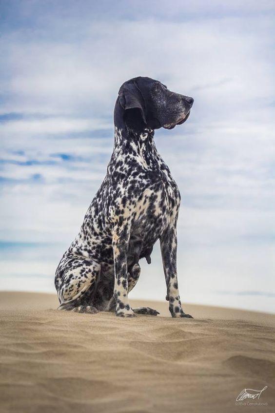 perro braco de Auvernia