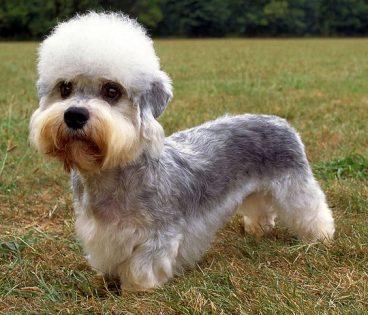 perro dandie dinmont terrier