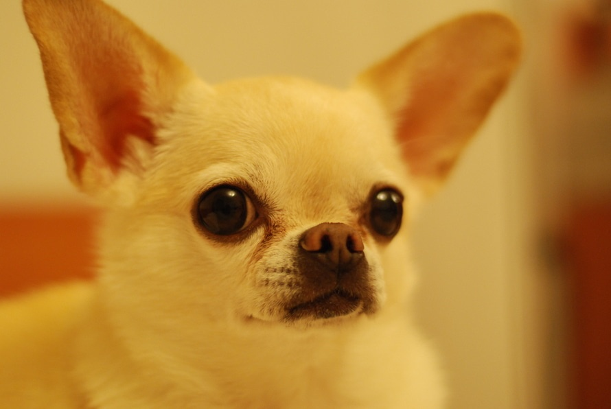 perro de la raza chihuahua