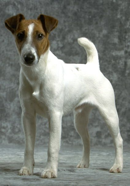 perro fox terrier de pelo liso