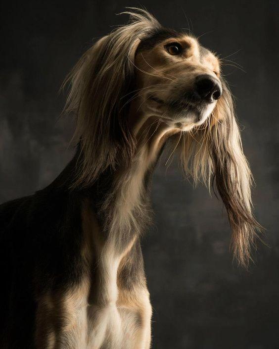 perro galgo saluki