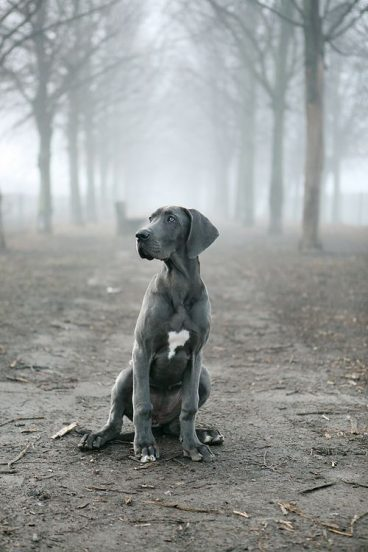 Perro gran Danés