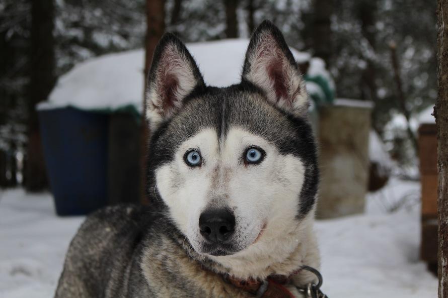 perro husky siberiano