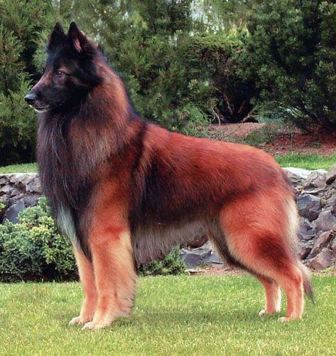 perro pastor belga tervueren