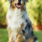 perro pastor ovejero australiano