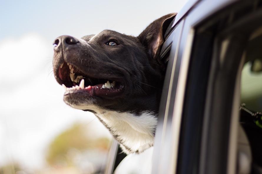 perro pit bull terrier americano