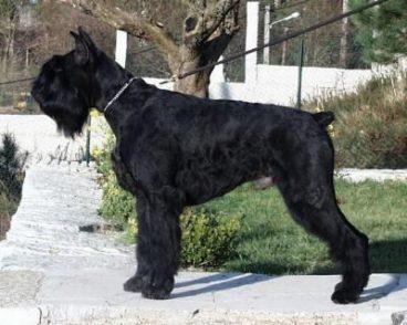 perro raza Schnauzer gigante