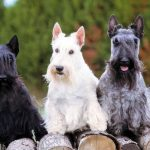 perro raza Scottish terrier