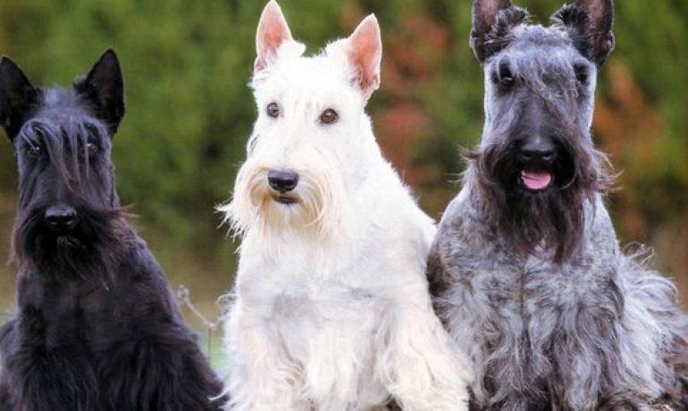 perro raza Scottish terrier