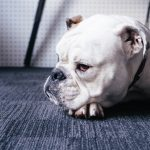 perro raza bulldog americano
