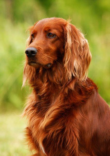 perro setter irlandés rojo