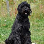 perro terrier negro ruso