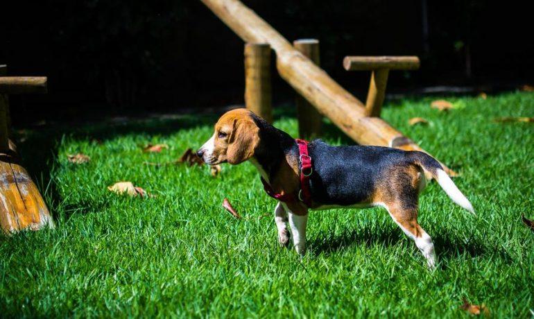 perros de la raza Beagle