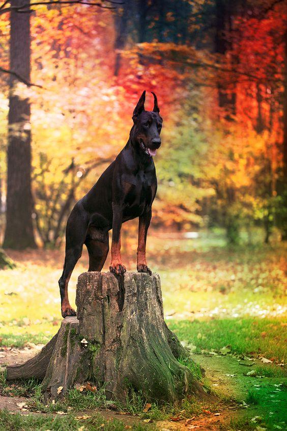 perros doberman pinscher