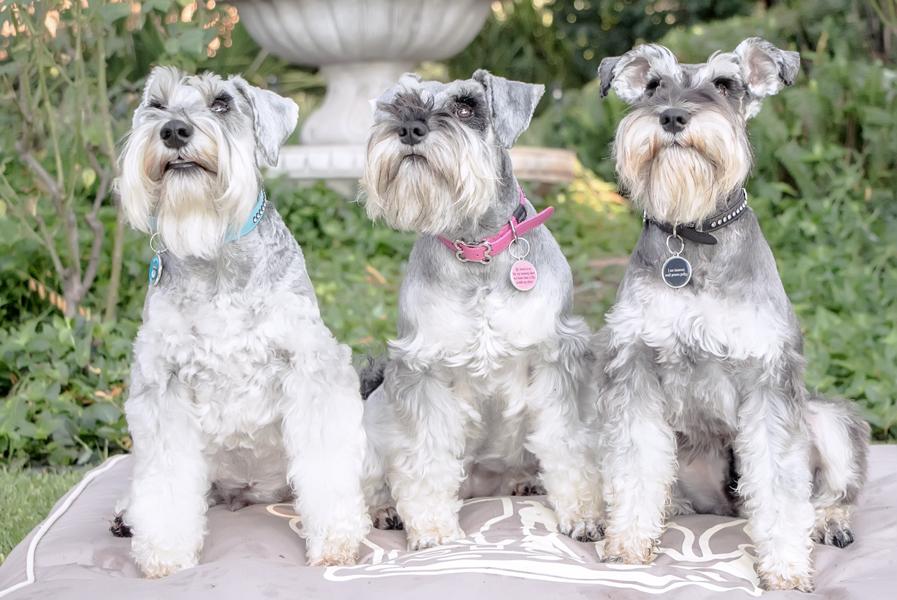 perros raza schnauzer