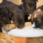 Pueden tomar leche los perros