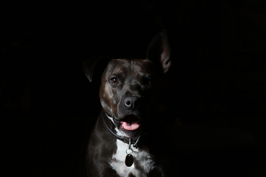 raza American Staffordshire-Terrier
