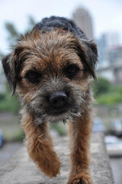 raza border terrier