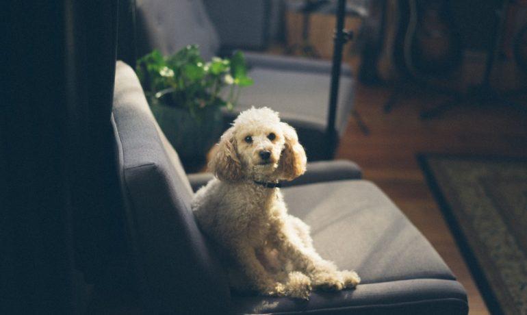 raza caniche o poodle mediano