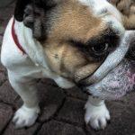 raza de los perros Bulldog inglés