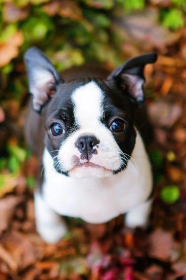 raza de perro Boston terrier