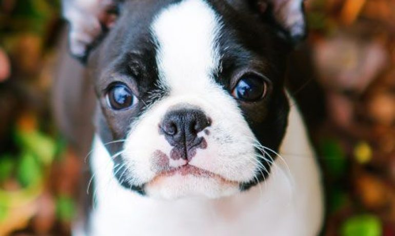 raza de perro Boston terrier