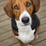 raza de perro Foxhound Americano